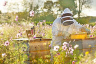 Beekeeper removing frame from beehive in field full of flowers - JUIF02010