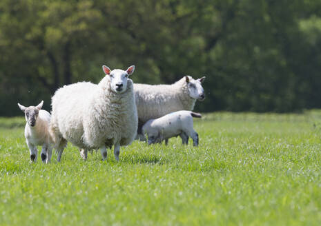 Portrait of sheep and lambs in sunny green spring field - JUIF02096