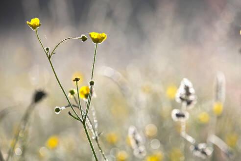 Close up yellow buttercup wildflower - JUIF02368
