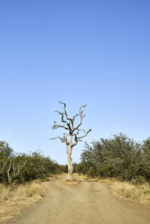 Bare tree on road against clear blue sky at Kruger National Park, South Africa - VEG00401