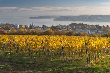 Germany, Baden-Wurttemberg, Uberlingen, Vineyard in Autumn, Lake Constance in background - SHF02214