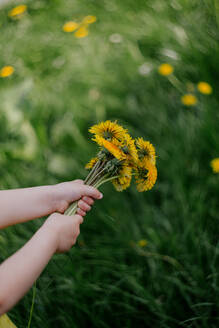 Little girl's hand holding dandelions - OGF00025
