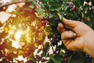 Low angle view of hand picking blueberry - BLEF09791