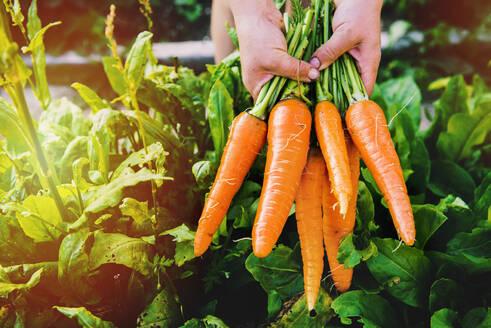 Hands holding carrots in garden - BLEF09794