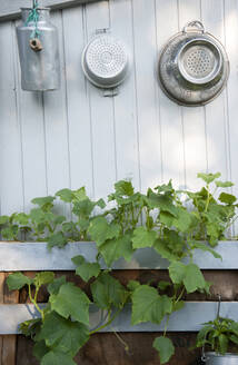 Colanders and container hanging over fresh plants growing against white wall in back yard - GISF00431