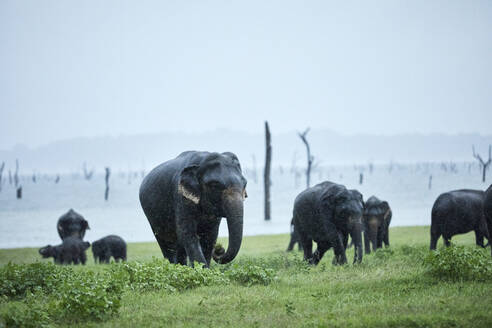 Indian elephant family grazing at Kaudulla National Park against clear sky - CVF01272