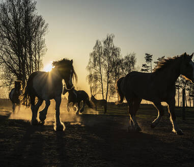 Horses running in idyllic pasture at sunset, Wiendorf, Mecklenburg, Germany - FSIF04237