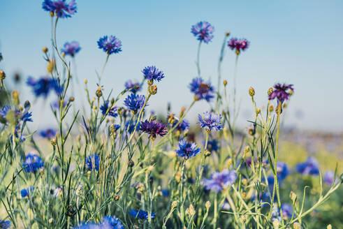 Close-up of fresh purple cornflowers growing on field against sky - MJF02371