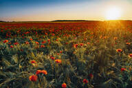 Idyllic view of fresh poppy flowers blooming on field against sky during sunset - MJF02374