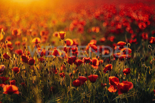Full frame shot of fresh poppy flowers blooming on field during sunset - MJF02377 - Jana Mänz/Westend61