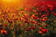 Full frame shot of fresh poppy flowers blooming on field during sunset - MJF02377