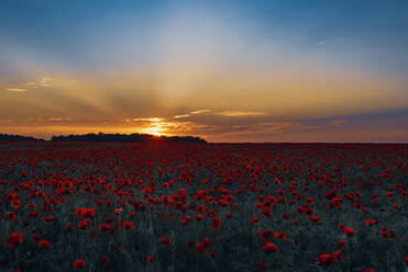 Poppy flowers blooming on field against sky during sunset - MJF02383