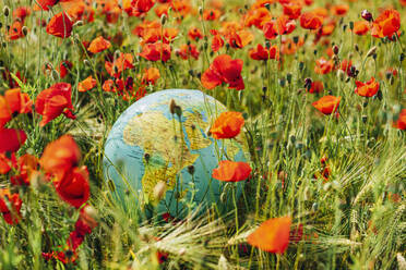 High angle view of globe amidst red poppy flowers on field - MJ02389