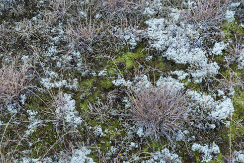 Lichen, grass and moss growing in the mountains at the Grimsel Pass. Grimsel Pass, Canton of Bern, Switzerland, European Alps. - RUEF02251