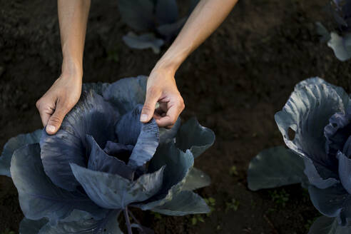 Woman hands on leaves of red cabbage - MAUF02694
