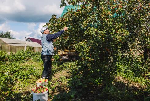Caucasian farmer picking fruit in garden - BLEF10660