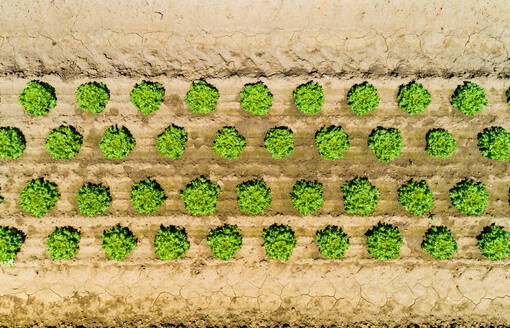 Abstract aerial view of lettuce agriculture in Correze, France. - AAEF00083