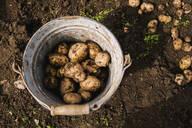 Bucket of potatoes in garden - BLEF11381