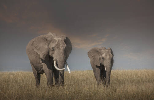 Elephant and calf grazing in savanna field - BLEF11561