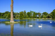 Swans swimming on Isar river, near Plattling , Lower Bavaria, Germany - SIEF08817