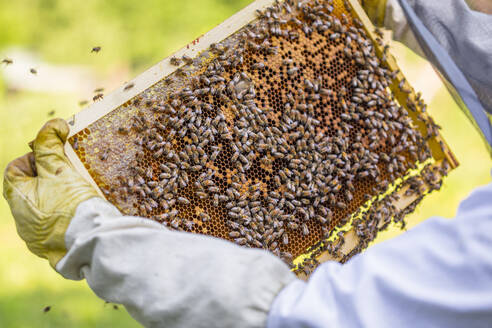 Beekeeper checking frame with honeybees - MGIF00617