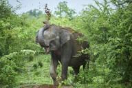 Portrait of Indian elephant throwing soil on his back, Udawalawe National Park, Sri Lanka - CVF01353