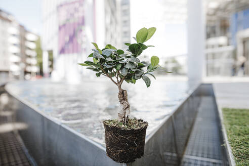 Bonsai on edge of a pool in front of office buildings - KMKF01023
