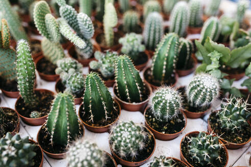 Different types of cacti in a garden center - JRFF03492
