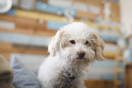 Portrait of cute curly dog at home - EYAF00324