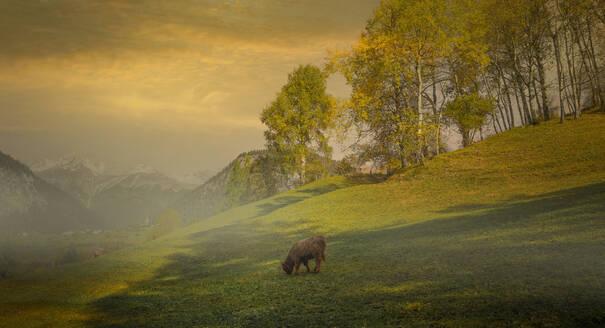 Cow grazing in misty remote field - BLEF12704
