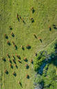 Aerial view of herd of cattle in a pasture at Karditsa region, Greece - AAEF00595