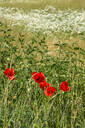 High angle view of red poppies growing on land - JTF01277