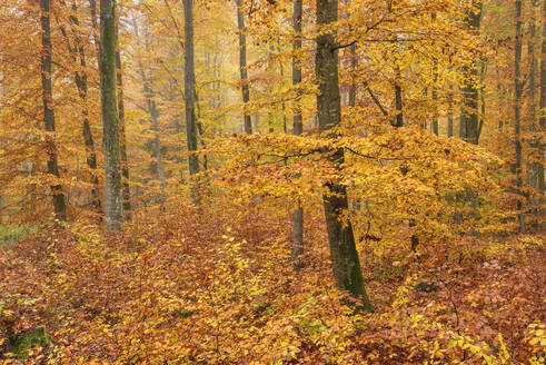Orange trees in forest during autumn at Baden-Württemberg, Germany - RUEF02309