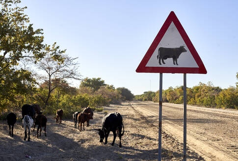 Beware of cow signs by dirt road against clear sky at Caprivi Strip, Namibia - VEGF00476