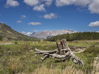 Dead tree on grassy land against blue sky, Scotland, UK - HUSF00067