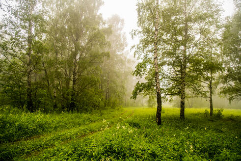 Trees and shrubs in misty forest - BLEF14459