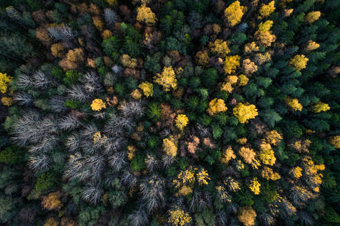 Aerial view of a colorful nordic pines forest at fall in Estonia - AAEF02076