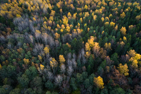 Aerial view of a colorful nordic pines forest at fall in Estonia - AAEF02235