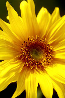 High angle close-up of sunflower - JTF01281
