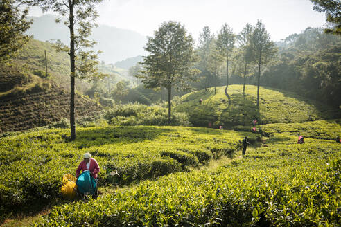 Tea estate, Nuwara Eliya, Central Province, Sri Lanka, Asia - RHPLF00686
