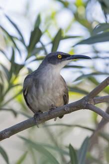 Grey trembler (Cinclocerthia gutturalis), Marigot Bay, Castries, St. Lucia, Windward Islands, Lesser Antilles, West Indies, Caribbean, Central America - RHPLF00788
