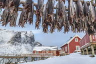 Codfish, typical product of the Lofoten Islands exported all over the world after being dried outdoors. Hamnoy, Lofoten Islands, Arctic, Norway, Scandinavia, Europe - RHPLF00981
