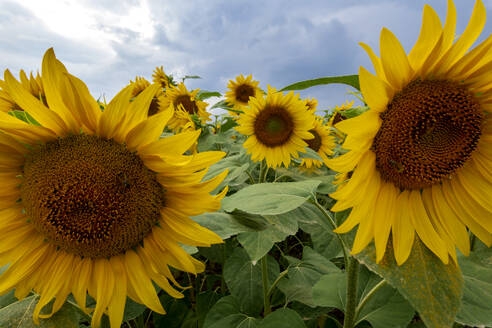 Close-up of sunflowers at agricultural field, Franconia, Germany - NDF00961