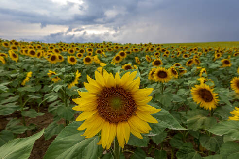 Beautiful sunflowers blooming in field against cloudy sky, Franconia, Germany - NDF00964