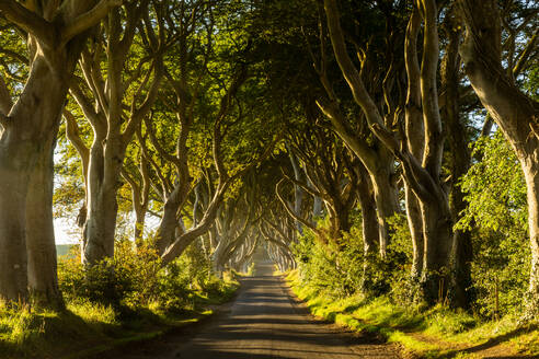 A road runs through the Dark Hedges tree tunnel at sunrise in Northern Ireland, United Kingdom, Europe - RHPLF01246