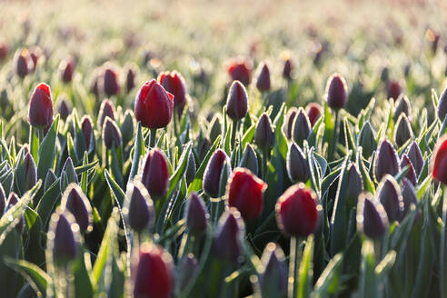 Close up of red tulips in bloom in the countryside of Berkmeer, municipality of Koggenland, North Holland, The Netherlands, Europe - RHPLF01420