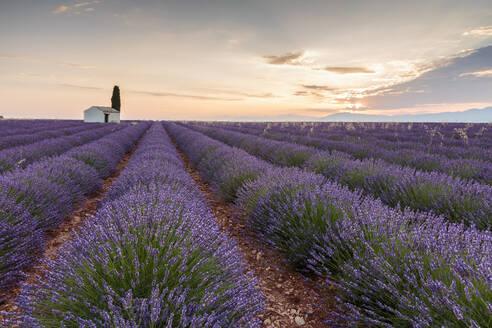 Rural house with tree in a lavender crop at dawn, Plateau de Valensole, Alpes-de-Haute-Provence, Provence-Alpes-Cote d'Azur, France, Europe - RHPLF01501