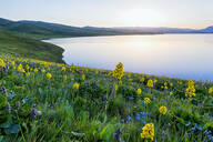 Wild flowers, Song Kol Lake, Naryn province, Kyrgyzstan, Central Asia, Asia - RHPLF01618