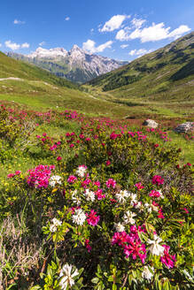 White and fuchsia coloured rhododendrons, Spluga Pass, canton of Graubunden, Switzerland, Europe - RHPLF03504