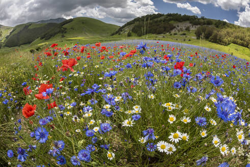Wildflower meadow of poppies, ox-eye daisy and cornflower, Monte Sibillini Mountains, Piano Grande, Umbria, Italy, Europe - RHPLF03875